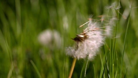 Dandelion seeds blowing from the flower Footage