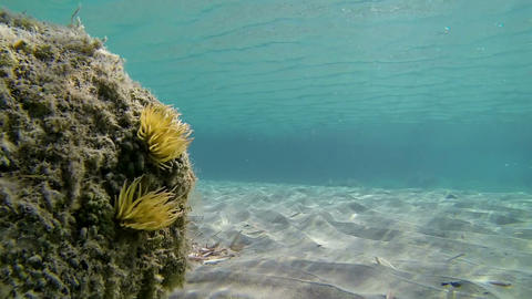Sea anemone swaying at a beach Footage