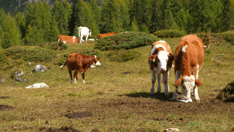 cows in dolomite alps pan three peaks audio 11529 Footage