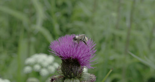A bee on top of the Thistle flower FS700 4K RAW Od Footage