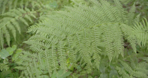 Lots green ferns on the meadows Footage