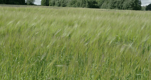 A field of waving green Hordeum vulgare plant FS70 Footage