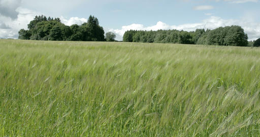 Green barley plants waving on the breeze of the wi Footage