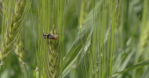 A fly or pest sticking on the green barley plant F Footage