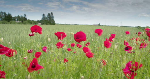 The red Papaver flower in the field FS700 4K RAW O Footage