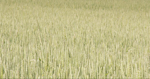 Lots of green wheat grass waving on the breeze of  Footage