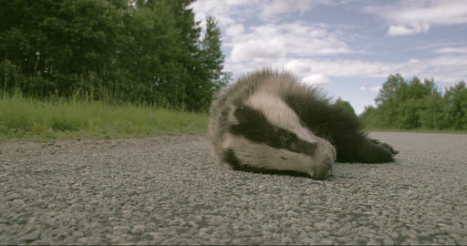 A dead Badger lying on the street FS700 4K RAW Ody Footage