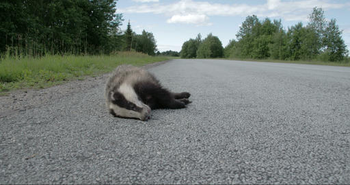 A dead black Badger lying on the side of the stree Footage