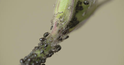 An aphid crawling on the stem while others are sle Footage