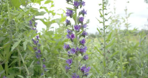 A Blueweed Plant In A Garden FS700 4K RAW Odyssey  stock footage