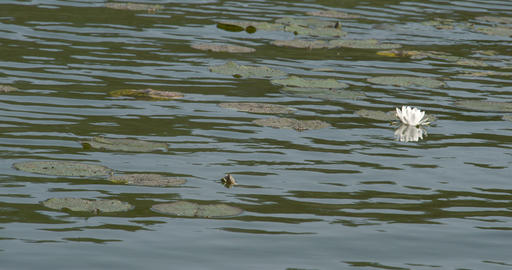 Water Lilies Are Floating On The Pond stock footage