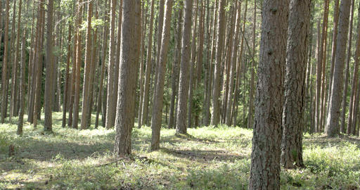 Trunks Of The Pine Trees In The Forest stock footage