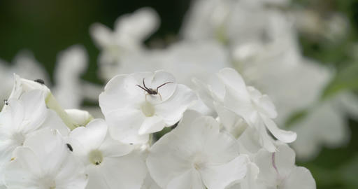 Lots of white flowers with the spider and insects Footage