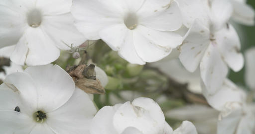The crab spider crawling on the white flower Footage