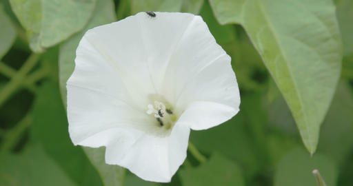 The white petals of the field bindweed flower Footage