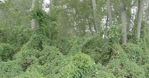 Lots of field bindweed vines on the forest Footage