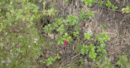 Lots of cowberry plants with its red fruit Footage