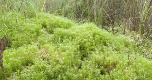 A mossy swamp with lots of grass in the forest Footage