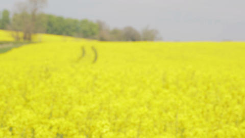 Rack Focus Rapeseed Field stock footage