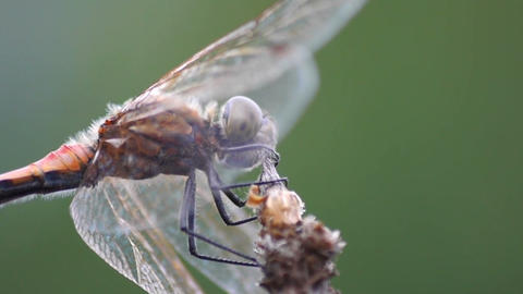 Dragonfly Stock Video Footage