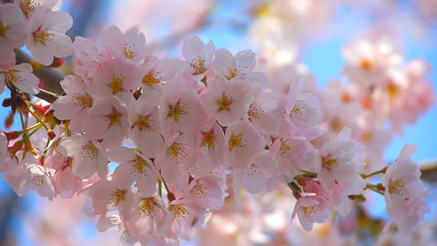 Cherry Blossoms sakura Footage