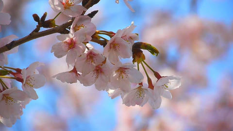 Cherry Blossoms sakura Stock Video Footage