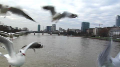 many seagulls frankfurt skyline slowmo Footage