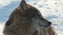 Cold wolf howl and wolves move through a forested area Stock Video Footage