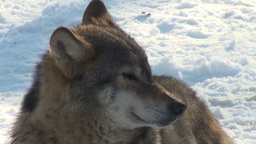 Cold wolf howl and wolves move through a forested area Footage