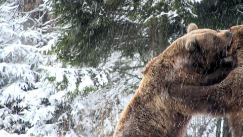 bears fighting Stock Video Footage