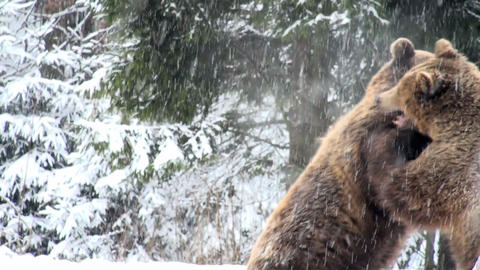 bears fighting Stock Video Footage