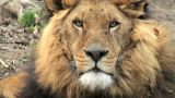 Lion Head stock footage