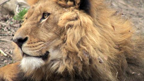 lion head Stock Video Footage