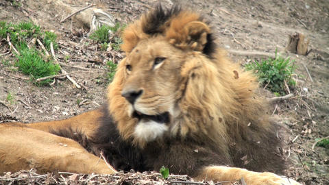 lion resting Stock Video Footage