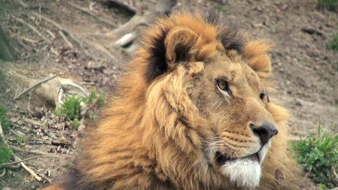 lion ビデオ