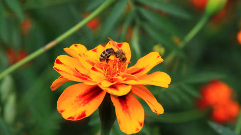 Bumblebee on tagetes Footage