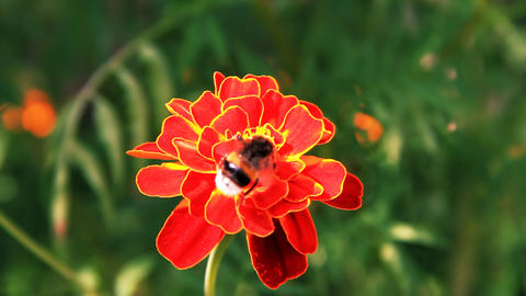 Bumblebee on tagetes Stock Video Footage