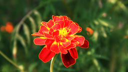 Tagetes Stock Video Footage