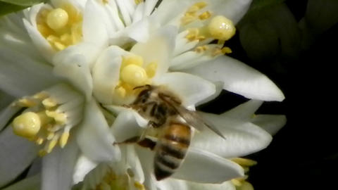 bees bee orange orchard blossom Stock Video Footage