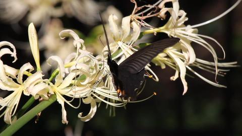黒い蝶と白い彼岸花 Stock Video Footage
