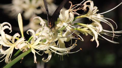 黒い蝶と白い彼岸花 Footage