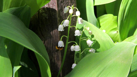 Bee and lily of the valley Stock Video Footage