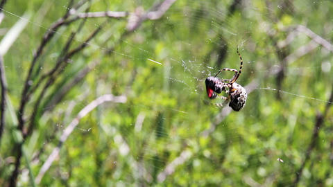 Spider hunting Stock Video Footage