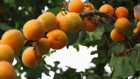 Apricot HD Stock Video Footage