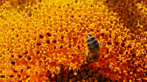 bee pollination on sunflower macro Footage