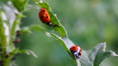 two ladybugs on green grass macro Stock Video Footage