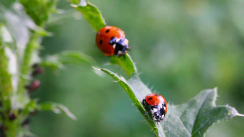 two ladybugs on green grass macro Footage
