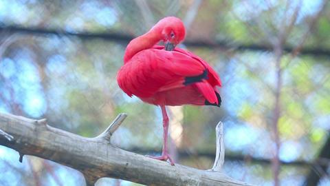 Scarlet ibis (Eudocimus ruber) Footage