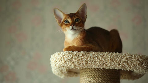Abyssinian kitten Live Action