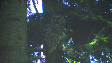 Adult Female Spotted Owl Footage